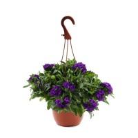 Planta exterior, cu flori, Verbena curgatoare, D 19 cm