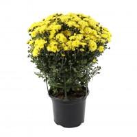 Planta exterior, cu flori - Chrysanthemum mix (crizantema), D 19 cm