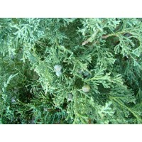 Arbore ornamental Juniperus Communis green carpet, D 17 cm