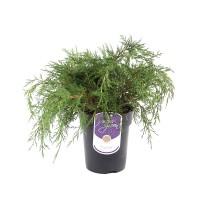 Arbore ornamental Juniperus pfitzeriana gold coast D 17 cm