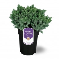 Arbust decorativ Juniperus Squamata blue star, D 17 cm