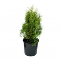 Arbore ornamental Tuia / Thuja occidentalis tiny tim, D 17 cm