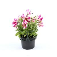 Planta exterior, cu flori, petunie curgatoare, D 12 cm