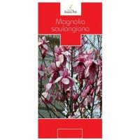 Arbore ornamental Magnolia soulangiana H 80-100 cm