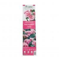 Butas trandafir promo Yurta, diverse soiuri