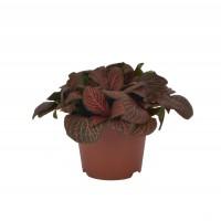 Planta interior - Fittonia (planta mozaic) mix, D 8.5 cm