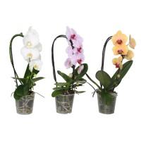 Planta interior Orhidee Phalaenopsis Cascade Bert D 12 cm