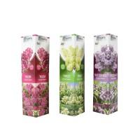Arbust ornamental Liliac Syringa mix H 30-50 cm