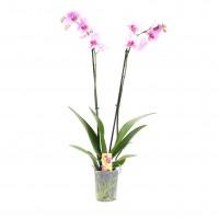Planta interior, cu flori - Orhidee Phalaenopsis, 2 fire, H 50 cm,  D 12 cm
