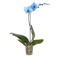 Planta interior, cu flori - Orhidee Phalaenopsis Royal blue A1, D 12 cm