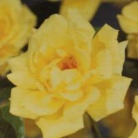 Trandafir catarator Rosa golden climber, H 65 cm, D 15 cm