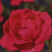 Trandafir catarator Rosa scarlet climber, H 65 cm, D 15 cm