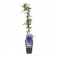 Arbust ornamental Clematis the President, H 65 cm, D 15 cm