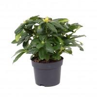 Planta exterior, cu flori, azalee - Rhododendron mix, H 35 cm, D 17 cm