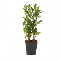 Arbust ornamental dafin - Laurus nobilis, H 30 cm, D 9 cm