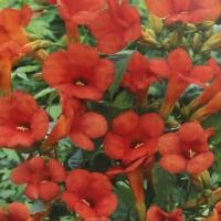 Arbust ornamental Campsis radicans CT3L