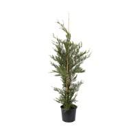 Arbore ornamental - Cupressocyparis leylandii, H 100 - 125 cm