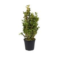 Arbust ornamental - Euonimus CT9L, H 40 - 60 cm