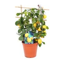 Planta interior - Citrus lemon (lamai), H 60 cm
