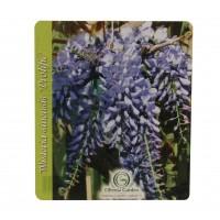 Arbust decorativ Glicina - Wisteria sinensis, H 150 - 175 cm