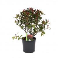 Arbust ornamental Photinia Red Robin, H 80 - 100 cm