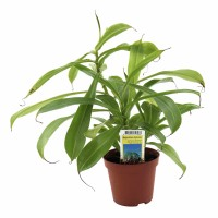 Planta interior Nepenthes carnivora D 9 cm