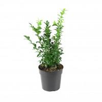 Arbust ornamental Buxus sempervirens D 12 cm
