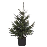 Arbore ornamental Picea Pungens Glauca, in ghiveci, H 120 - 150 cm
