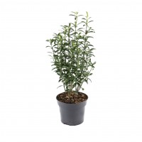 Arbust ornamental - Euonymus mix, D 12 cm