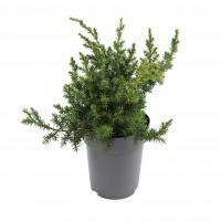 Arbust decorativ Juniperus chinensis blue, D 15 cm