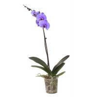 Planta interior, cu flori - Orhidee Phalaenopsis violet, H 60 cm, D 12 cm
