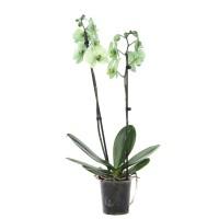 Planta interior, cu flori - Orhidee Phalaenopsis verde, H 60 cm, D 12 cm
