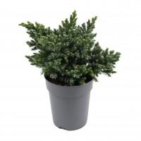 Arbust decorativ Juniperus Squamata blue, D 15 cm