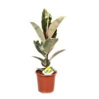 Planta interior - Ficus elastica, H 70 cm, D 17 cm