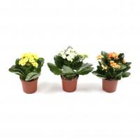 Planta interior, cu flori - Kalanchoe mix, H 17 cm, D 7 cm