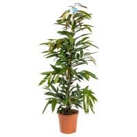 Planta interior - Ficus Amstel king, H 145 cm, D 27 cm