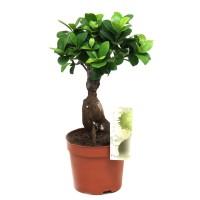 Planta interior - Ficus microcarpa Gingseng, H 35 cm, D 12 cm
