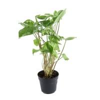 Planta interior - Syngonium (floarea fluture), H 20 cm, D 12 cm