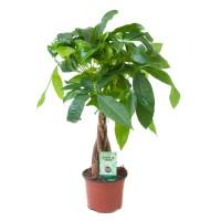 Planta interior - Pachira aquatica (arborele banilor), H 45 cm, D 12 cm