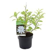 Arbore ornamental - Magnolia mix, H 40-60 cm, D 19 cm
