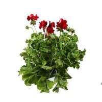 Planta exterior, cu flori, Muscate curgatoare - Pelargonium interspecific, D 22 cm