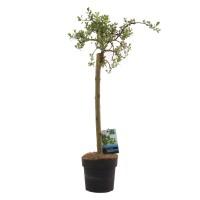 Arbore ornamental salcie - Salix Arbuscula, H 70 cm, D 17 cm