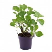 Planta de gradina, hortensie - Hydrangea macrophylla mix, H 20 cm, D 14 cm