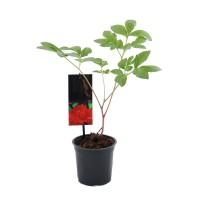 Planta de gradina, bujor - Paeonia Lactiflora mix, H 15 cm, D 12 cm