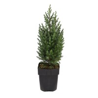 Arbust decorativ Juniperus Squamata blue mix, D 17 cm