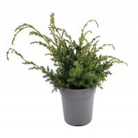 Arbore ornamental Juniperus Squamata blue star D 17 cm