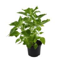 Planta de gradina, urzicuta - Coleus, D 12 cm