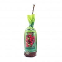 Arbust fructifer - coacaz rosu Natura