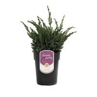 Arbore ornamental Juniperus Squamata blue compact D 17 cm