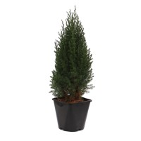 Arbust decorativ Juniperus Stricta, H 50 cm, D 17 cm